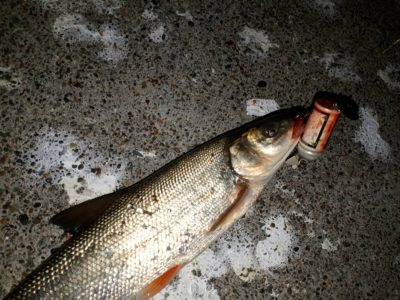 プラグで釣ったウグイ