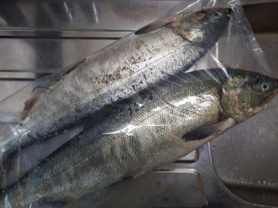 今シーズン初の2本の雌鮭