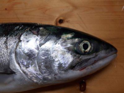 鮭のアップ画像