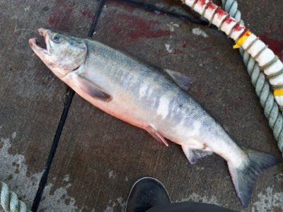 釣った直後の雄鮭