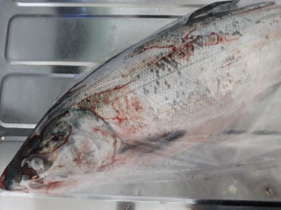 袋に入ったままの鮭