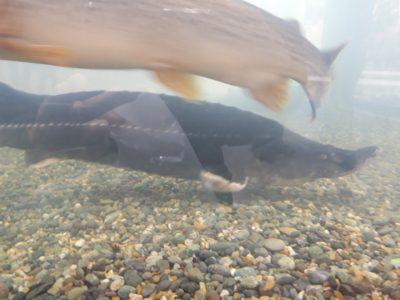 水槽内のチョウザメ