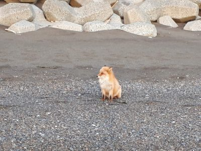 人懐っこい子狐