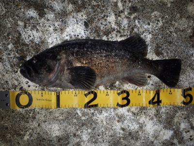 都賀が釣った44センチのクロソイ