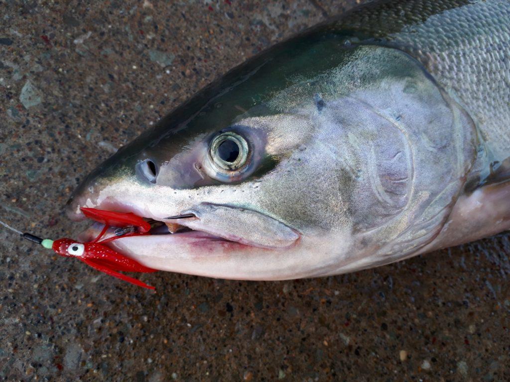 2本目の鮭のアップ画像