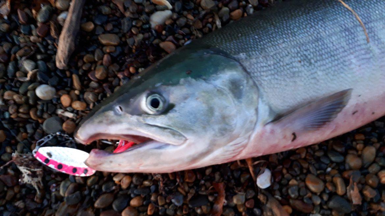 アイキャッチ画像:鮭のアップ画像